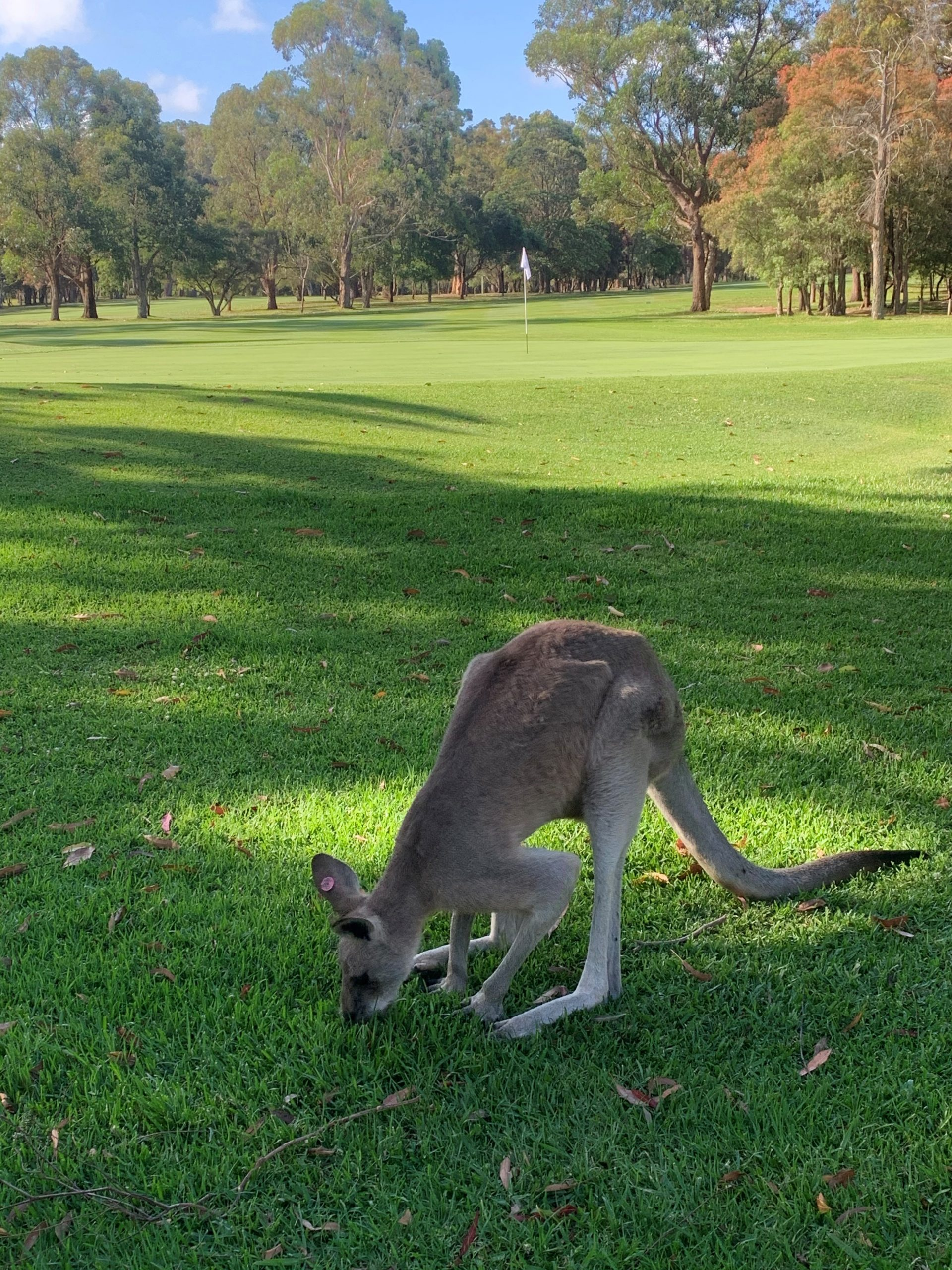 Roos-at-Nelson-Bay