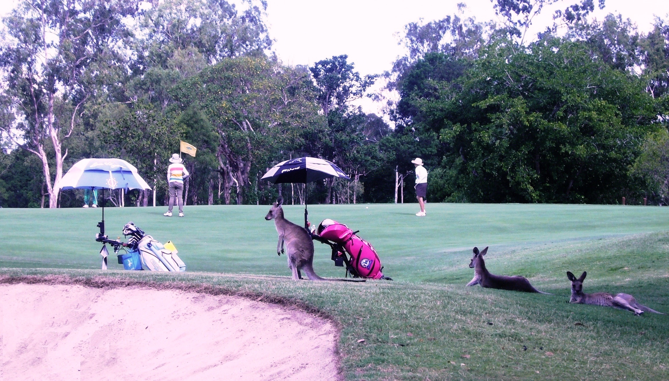 players and kangaroos 1